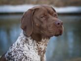 Braque Français - profil