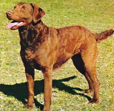 Retriever de chesapeake razas de perros for Internotes r web retriever