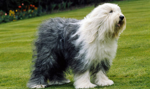 English-Sheepdog0