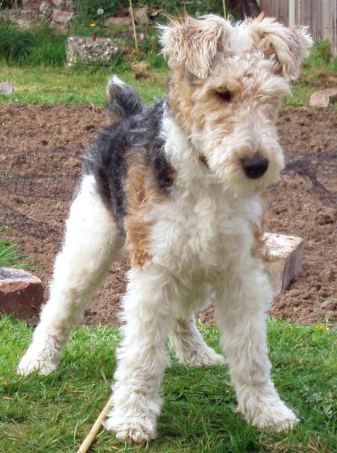 Fox Terrier Pelo Duro - Perros de Raza en Mercado Libre