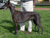 GREYHOUND – GALGO INGLÉS