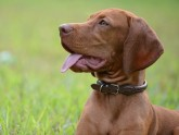 HUNGARIAN SHORT-HAIRED POINTER (VIZSLA)