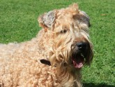 TERRIER IRLANDÉS SOFT COATED WHEATEN