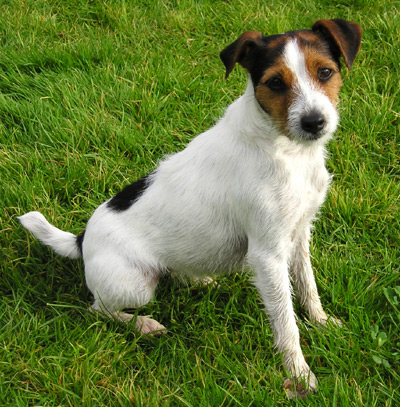 TERRIER PARSON RUSSELL