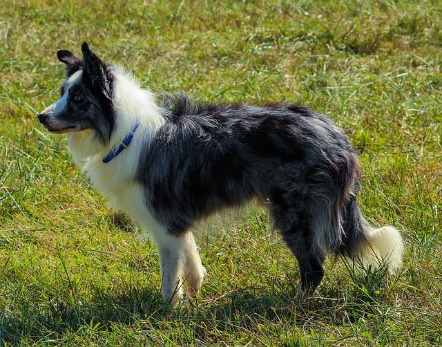 border-collie-1 (2)