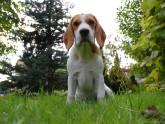 Foto de beagle sentado