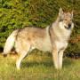 perro lobo checo-1