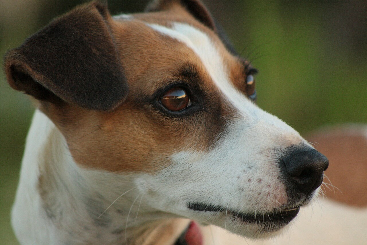 Jack Russell Charakter - Jack Russell Terrier / Parson