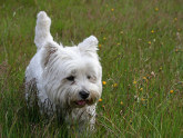 TERRIER BLANCO DE WEST HIGHLAND – WESTY – WESTIE