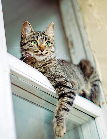 Gato comun europeo pelo corto