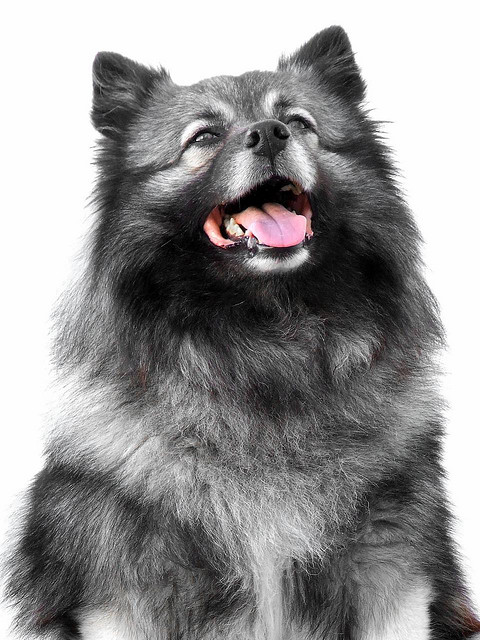 Spitz tipo lobo -Keeshond