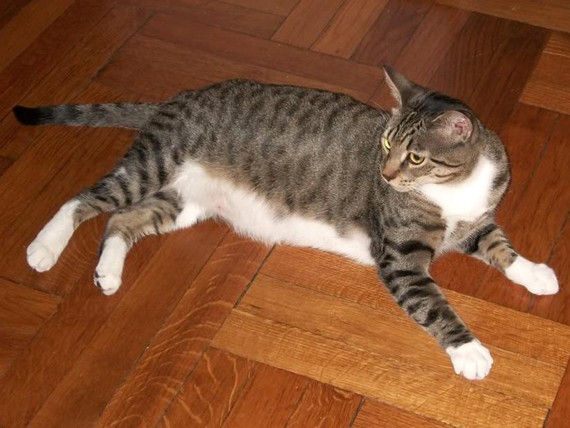 Gato domestico pelo corto
