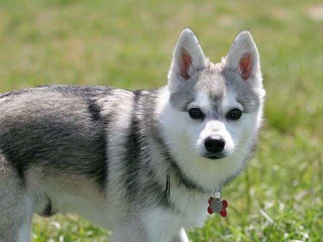 Klee Kai De Alaska Razas De Perros Webanimales Com