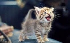 El maullido del gato