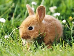 conejo-campo