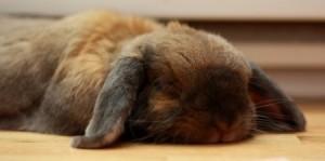 conejo-durmiendo