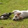 perro-urraca