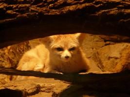 fennec-fox-77047_640