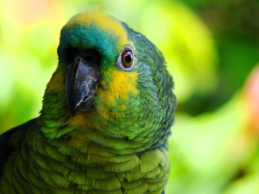 Loro del Amazonas