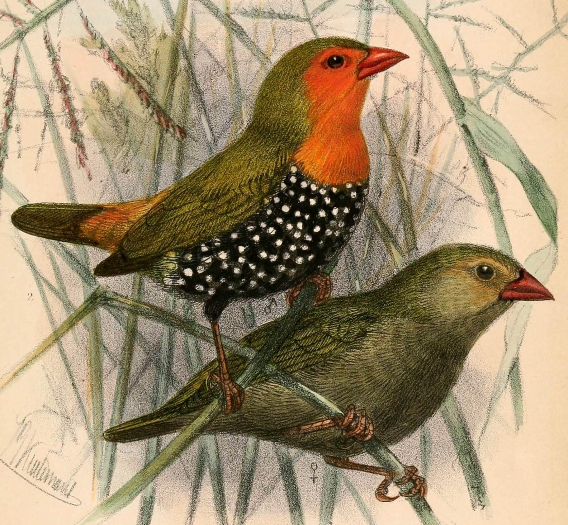 Bengalí verde moteado