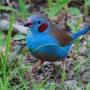 azulito-del-senegal