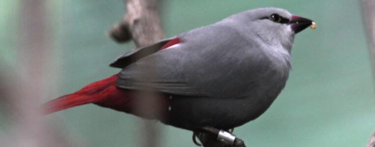 bengali-cola-de-vinagre