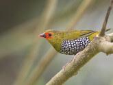 bengali-verde-moteado
