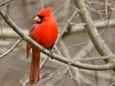 cardenal-de-virginia