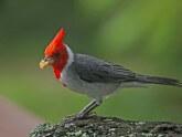 cardenal-gris