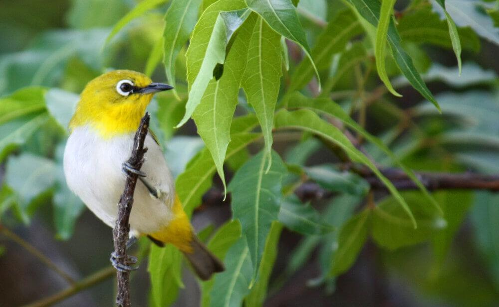 Pájaro de anteojos