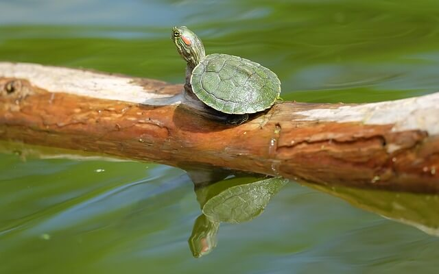 La tortuga de agua como mascota for Peceras para tortugas