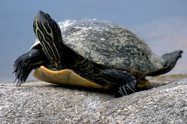 water-turtle-649667_640