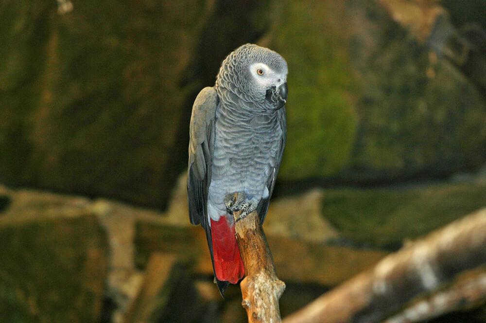Yaco o papagayo gris