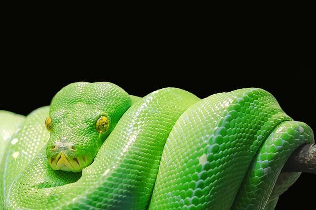 green-tree-python-543243_640