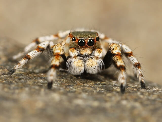 jumping-spider-111075_640