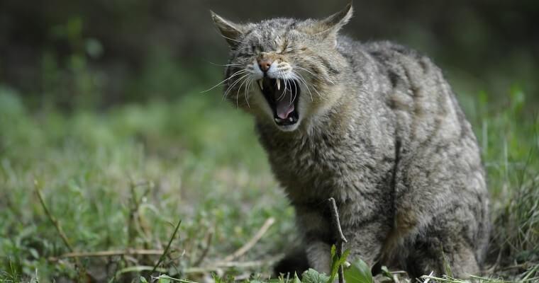 Gato gruñendo