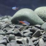 pecera-peces
