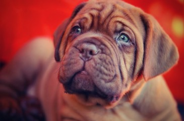 puppy-742628_640
