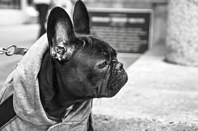 bulldog-238514_640