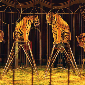 tigres-circo