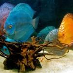discus-fish-390743_640