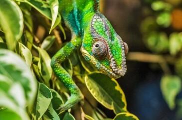 chameleon-384957_640