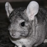 chinchilla-723359_640