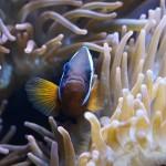 anemones-793365_640
