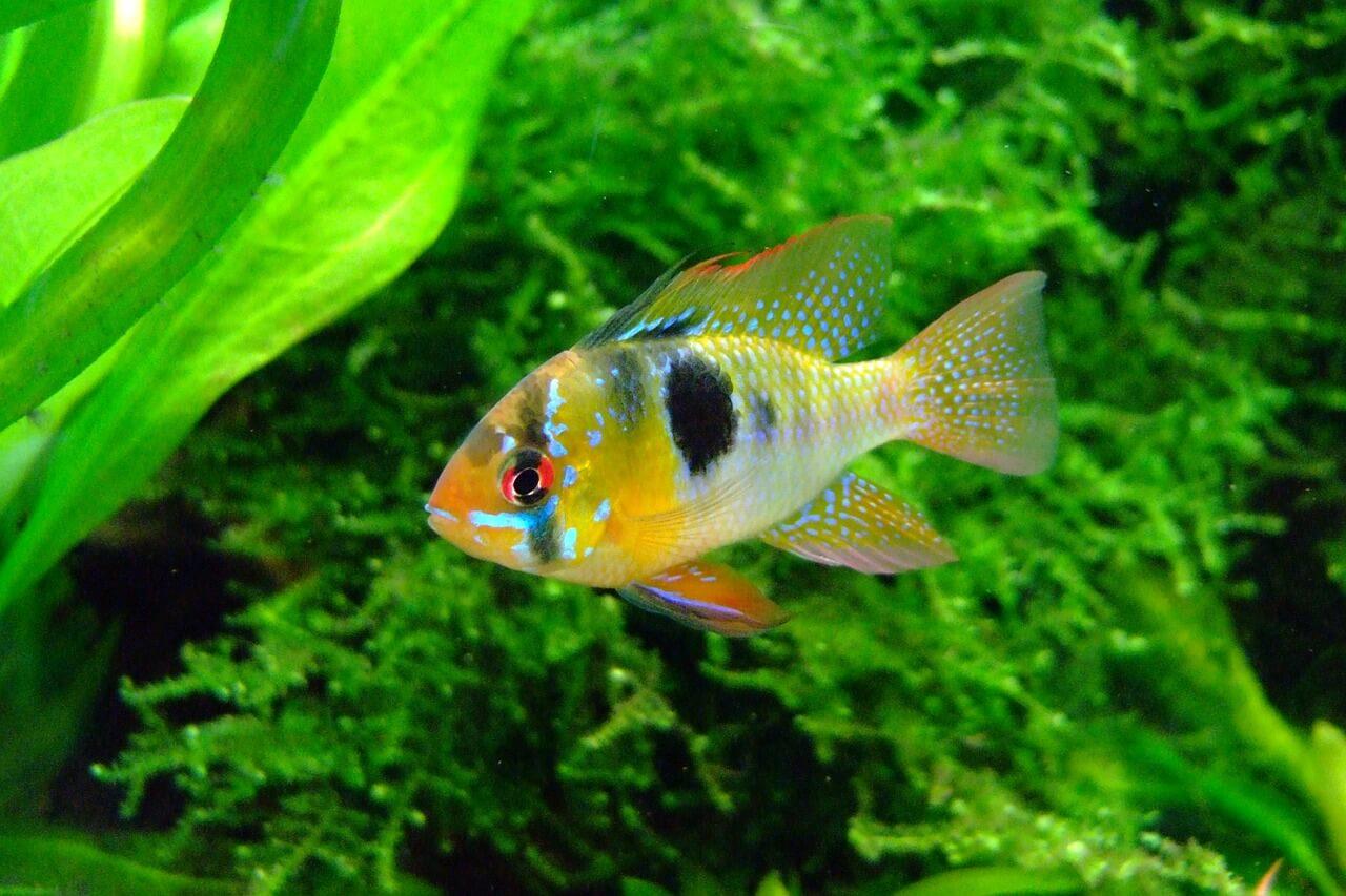 Tipos de peces for Peces para acuarios pequenos