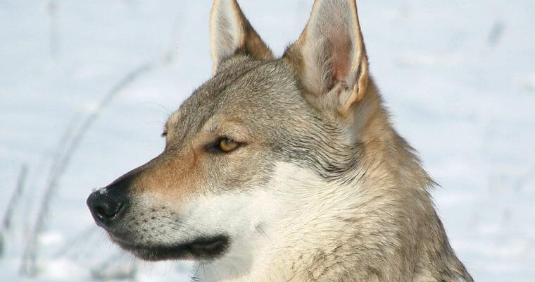 Cara perro lobo checoslovaco