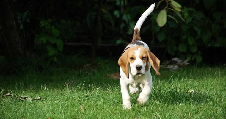 beagle corriendo