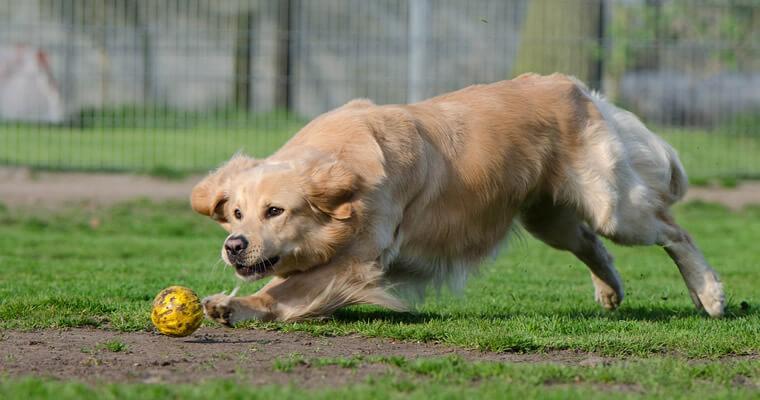 perro golden retriever jugando