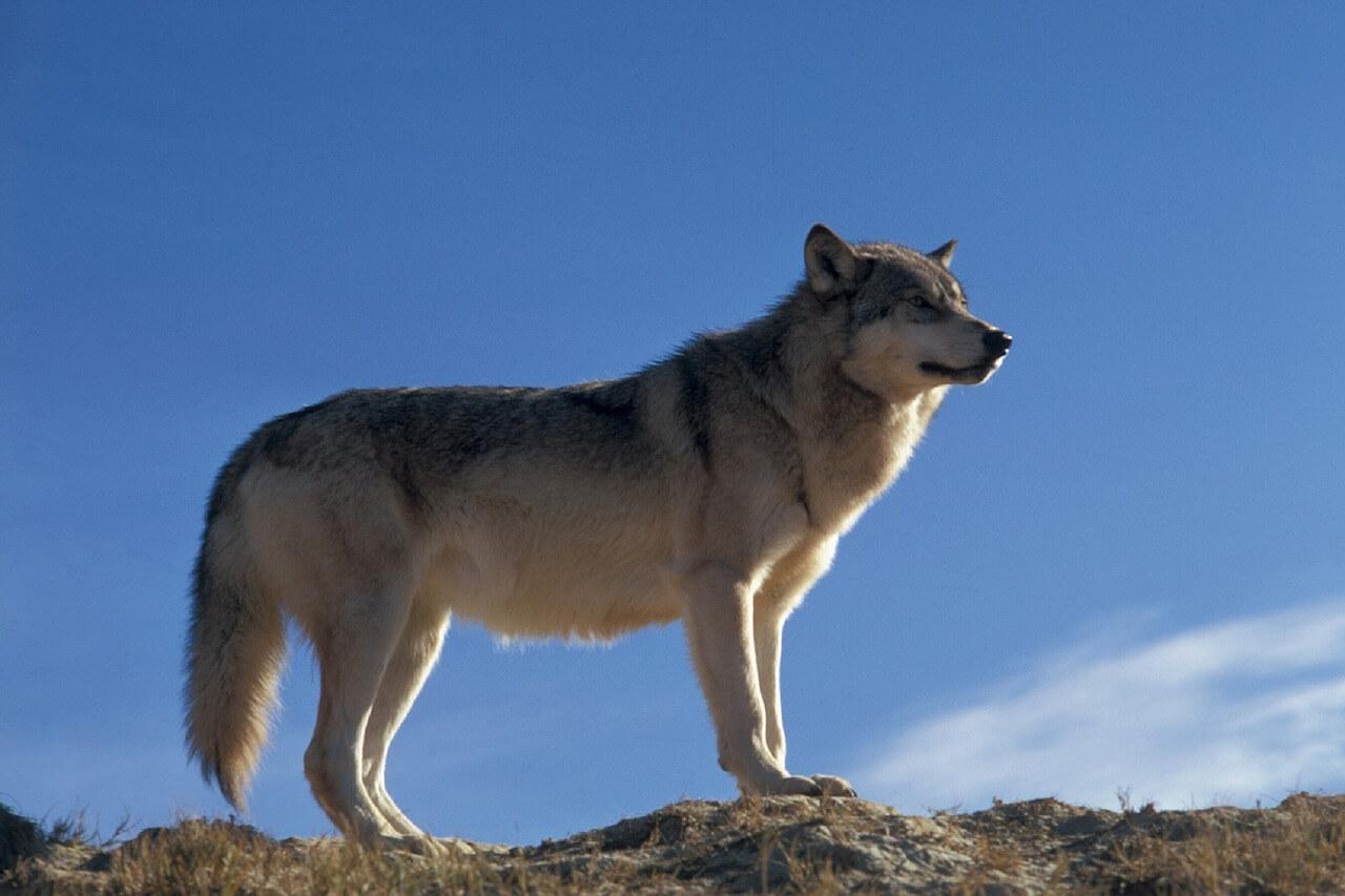 Razas De Perros Lobos