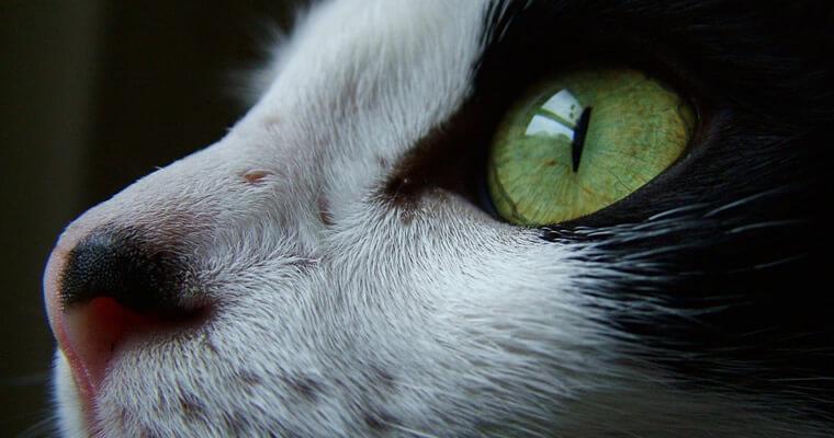 alergia en los gatos